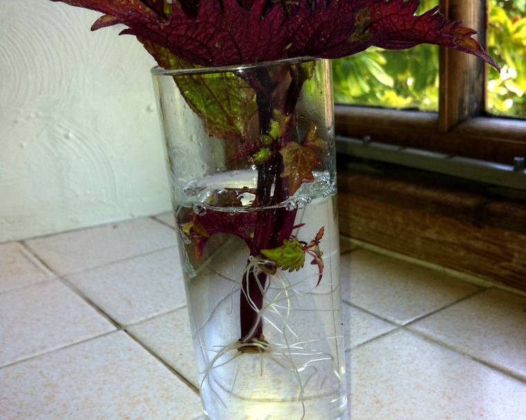 A vase filled with plant cuttings showing roots