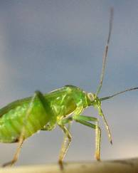 A photo of Common Green Capsid Bug