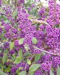 A photo of Beauty Berry 'Profusion'