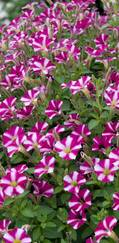 A photo of Petunia 'Littletunia'