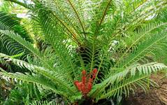 A photo of Blechnum
