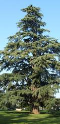 A photo of Cedrus