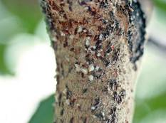 A close up of Lepidosaphes ulmi apple mussel scale on a tree trunk