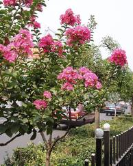 A photo of Lagerstroemia indica