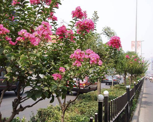 A picture of a Crepe myrtle