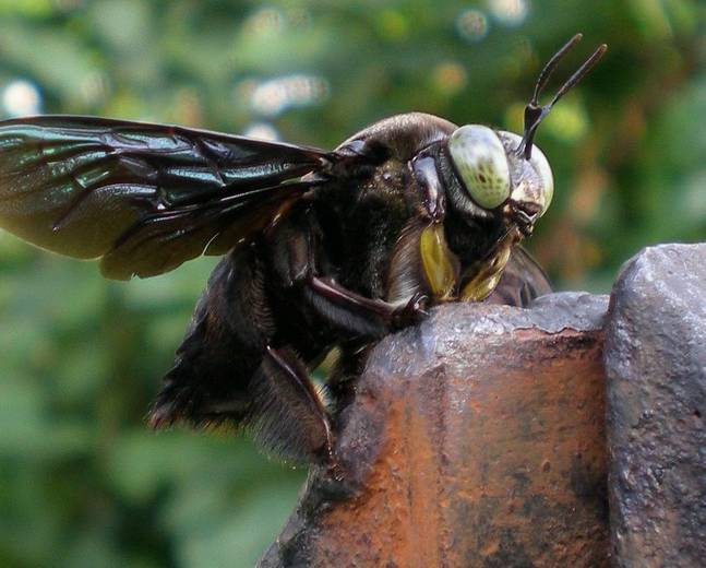 A close up of a carpenter bee from the genus Xylocopa
