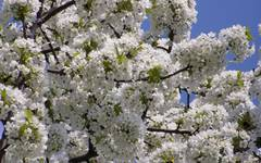 A photo of Cherry Tree