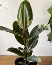 Variegated Rubber Fig - Free UK Delivery
