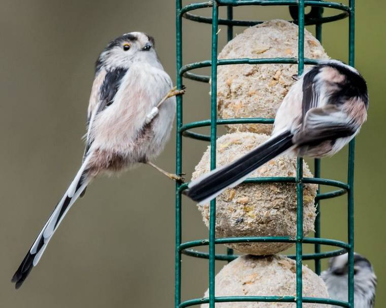 Long-tailed tits on bird feeder full of fat balls