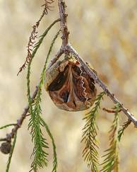 A photo of Swamp Cypress
