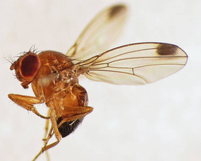 A close up photograph of a male Drosophila suzukii fly