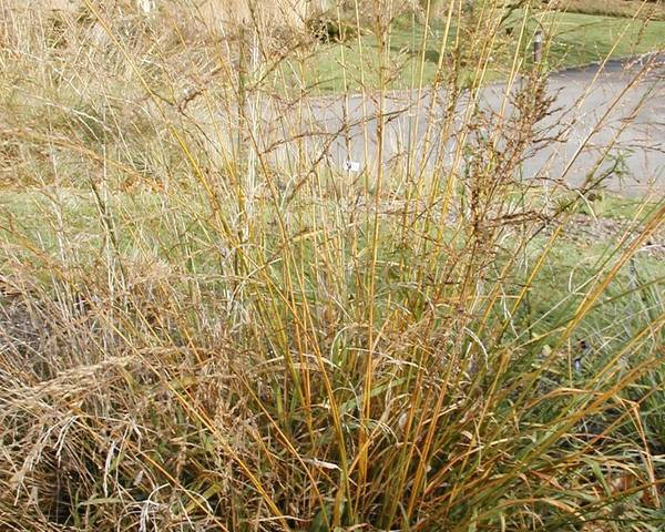 A picture of a Fescue