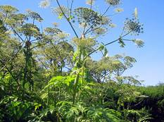 A green Heracleum mantegazzianum giant hogweed plant growing wild