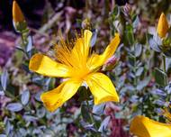 A photo of St John's Wort