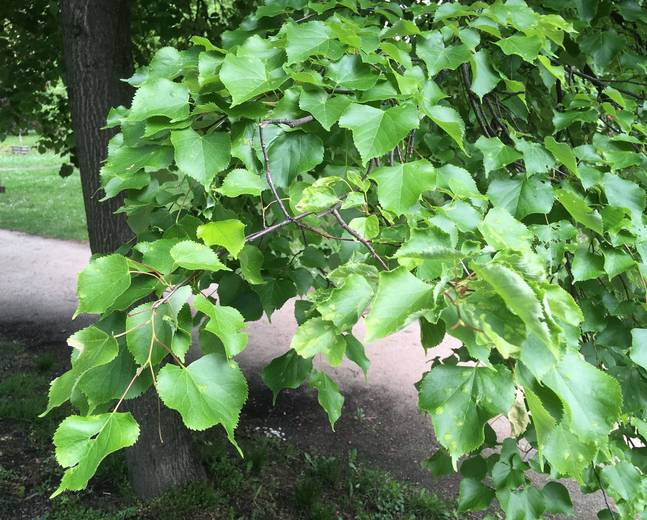 Some green leaves of a Tilia cordata tree in a park