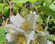 A photo of Mock Orange