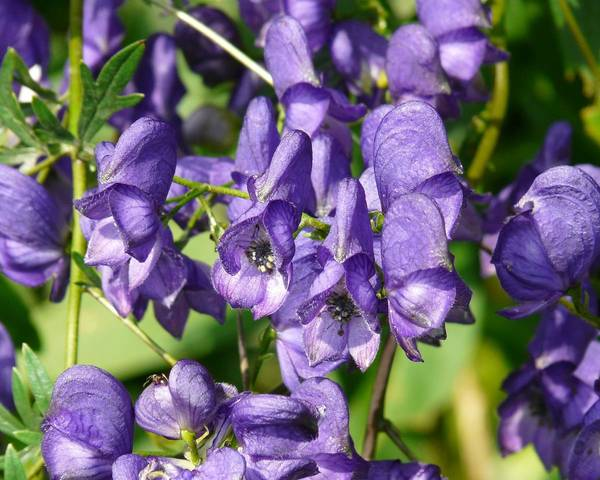 A picture of a Aconitum