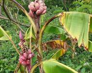A photo of Pink Banana
