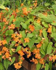 A photo of Sutherland Begonia