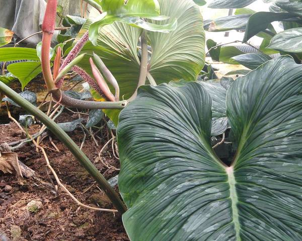 A picture of a Philodendron mamei