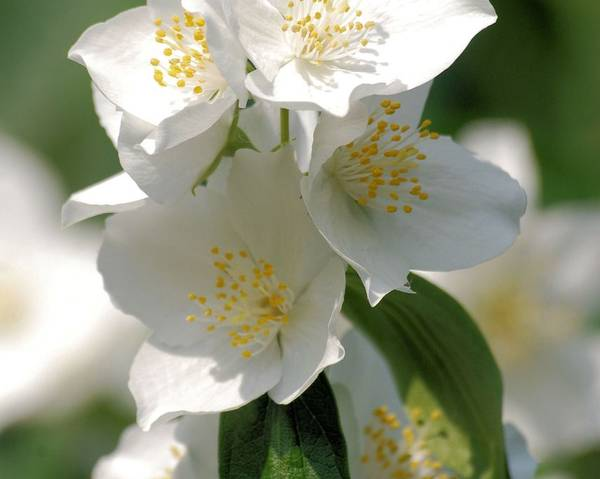 A picture of a Mock Orange