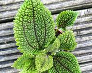 A photo of Pilea 'Moon Valley'