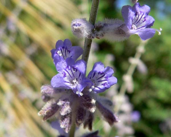 A picture of a Russian Sage
