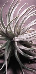 A photo of Air Plant