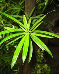 A photo of Podocarpus