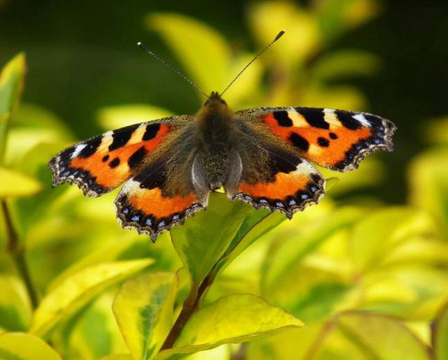 A close up image of a small tortoise shell butterfly Aglais urticae perching on a yellow leaf