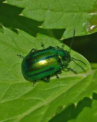 A photo of Leaf Beetles