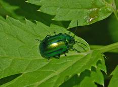 A flea beetle on a leaf