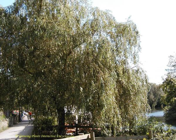 A picture of a Willow