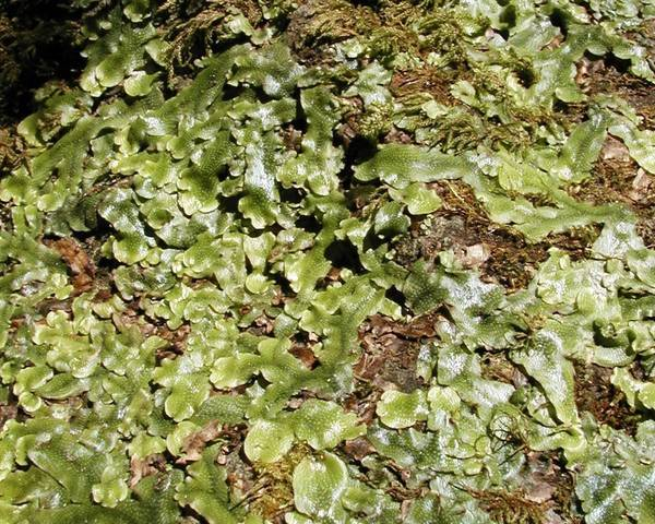 A picture of a Liverwort