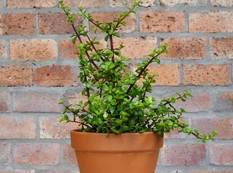 A Portulacaria afra plant in a pot in front of a brick building