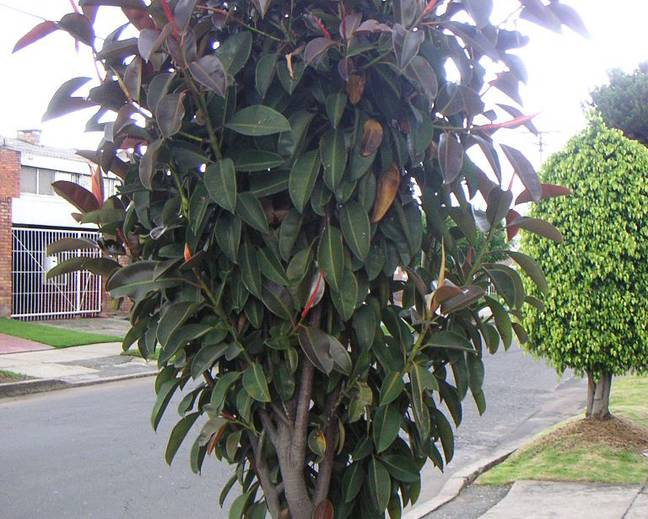 A Rubber Tree Ficus elastica growing in a street