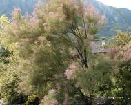 A photo of Tamarisk
