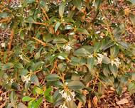 A photo of Burkwood Osmanthus