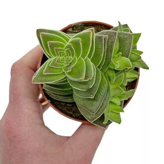 Rare Succulent Crassula Turrita Geometric Shaped Houseplant Indoor Succulent