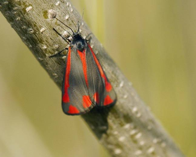A red black cinnabar moth Tyria jacobaeae insect on a twig