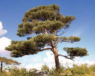 A photo of Scots Pine