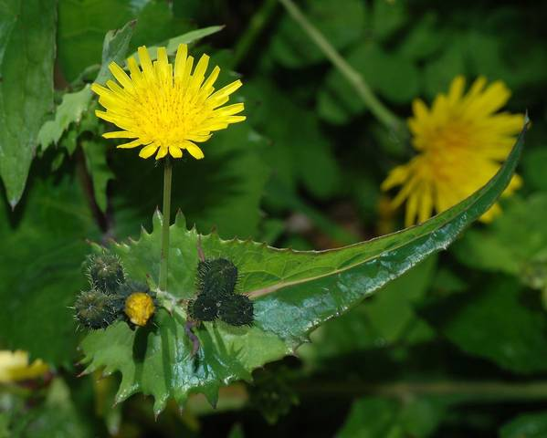 A picture of a Common Sowthistle