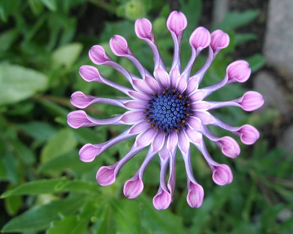 A picture of a African daisy 'Pink Whirls'