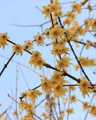 A photo of Wintersweet