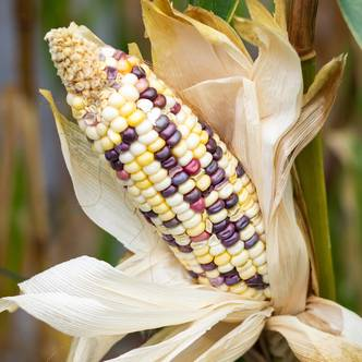 Sweetcorn. ORNAMENTAL FIESTA. 30 seeds per pkt.