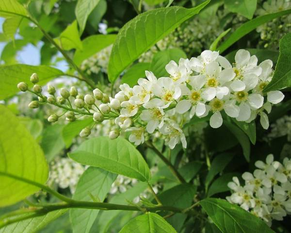 A picture of a Bird Cherry
