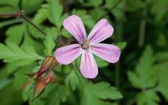 A photo of Herb Robert
