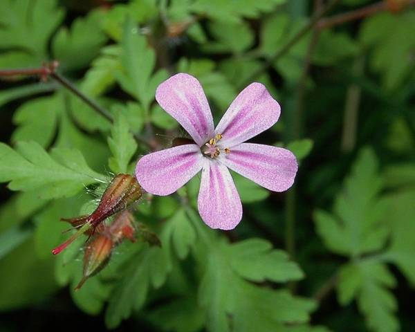 A picture of a Herb Robert