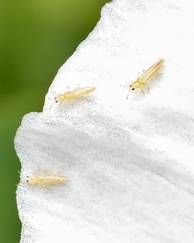 A photo of Thrips