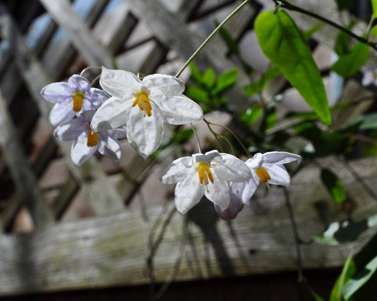 White Potato Vine in front of a trellis